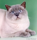 The British Shorthair Cat Breed