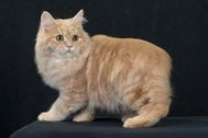 The Cymric Cat Breed