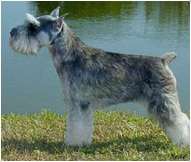 The Miniature Schnauzer Dog Breed