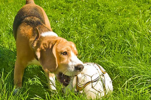 Beagle qui mâche un ballon de football