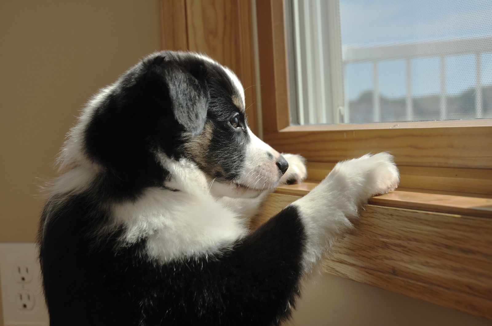 Australian Shepherd puppy standing staring out window